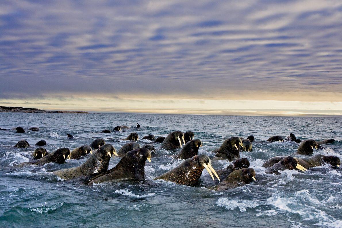 Imagen de morsas del Atlántico migrando desde Rusia a Svalbard