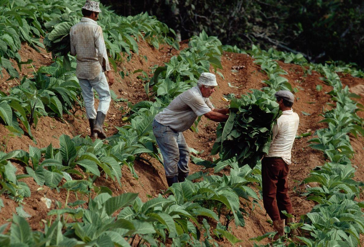 Imagen de agricultores cosechando plantas de tabaco en Puerto Rico