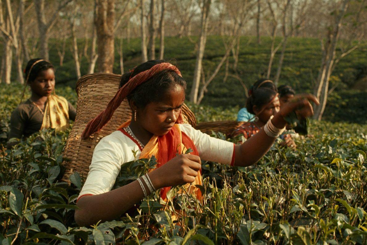 Las mujeres cosechan hojas de té