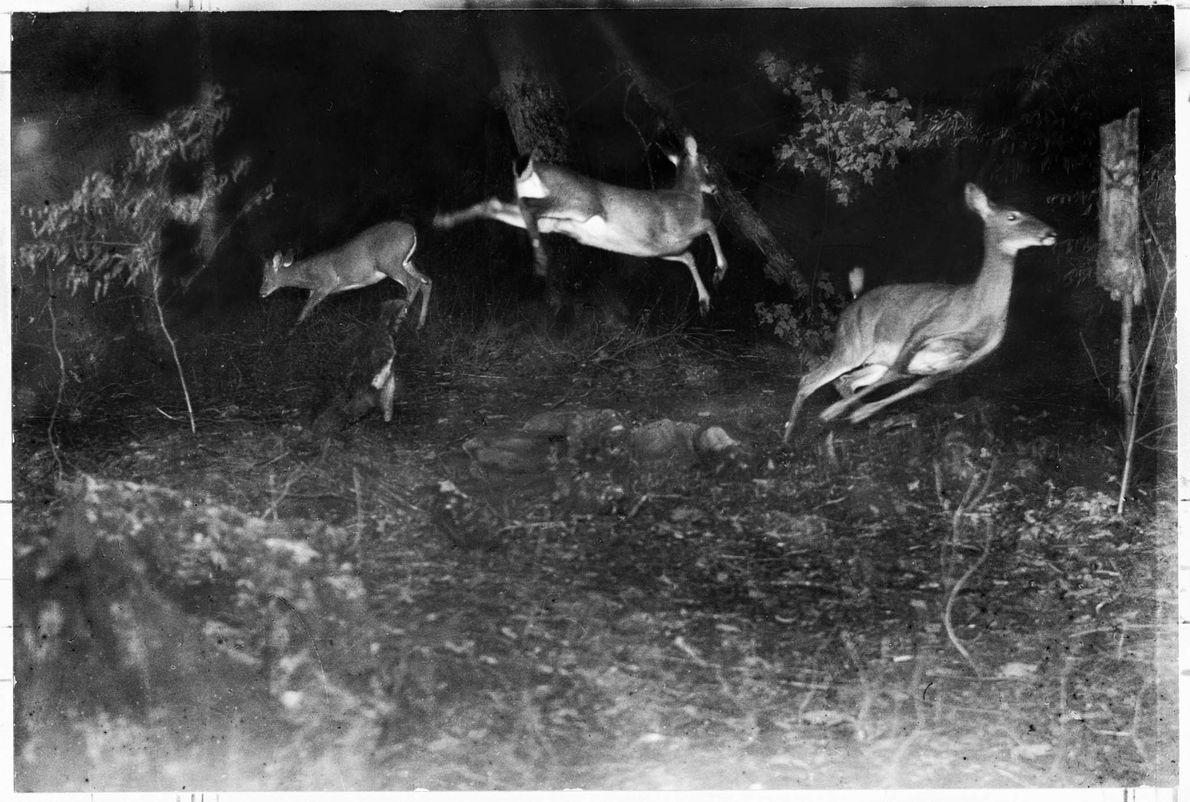 Ciervos saltando