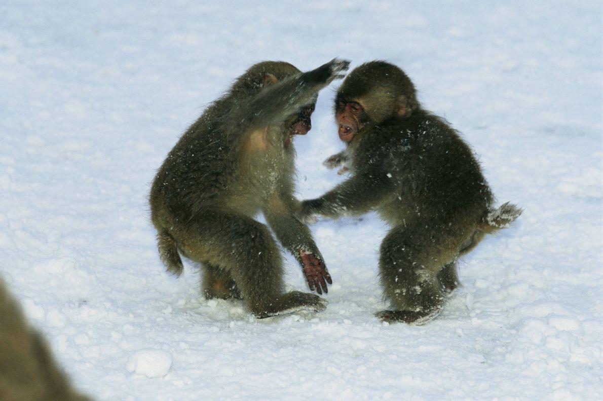 Dos macacos japoneses jóvenes