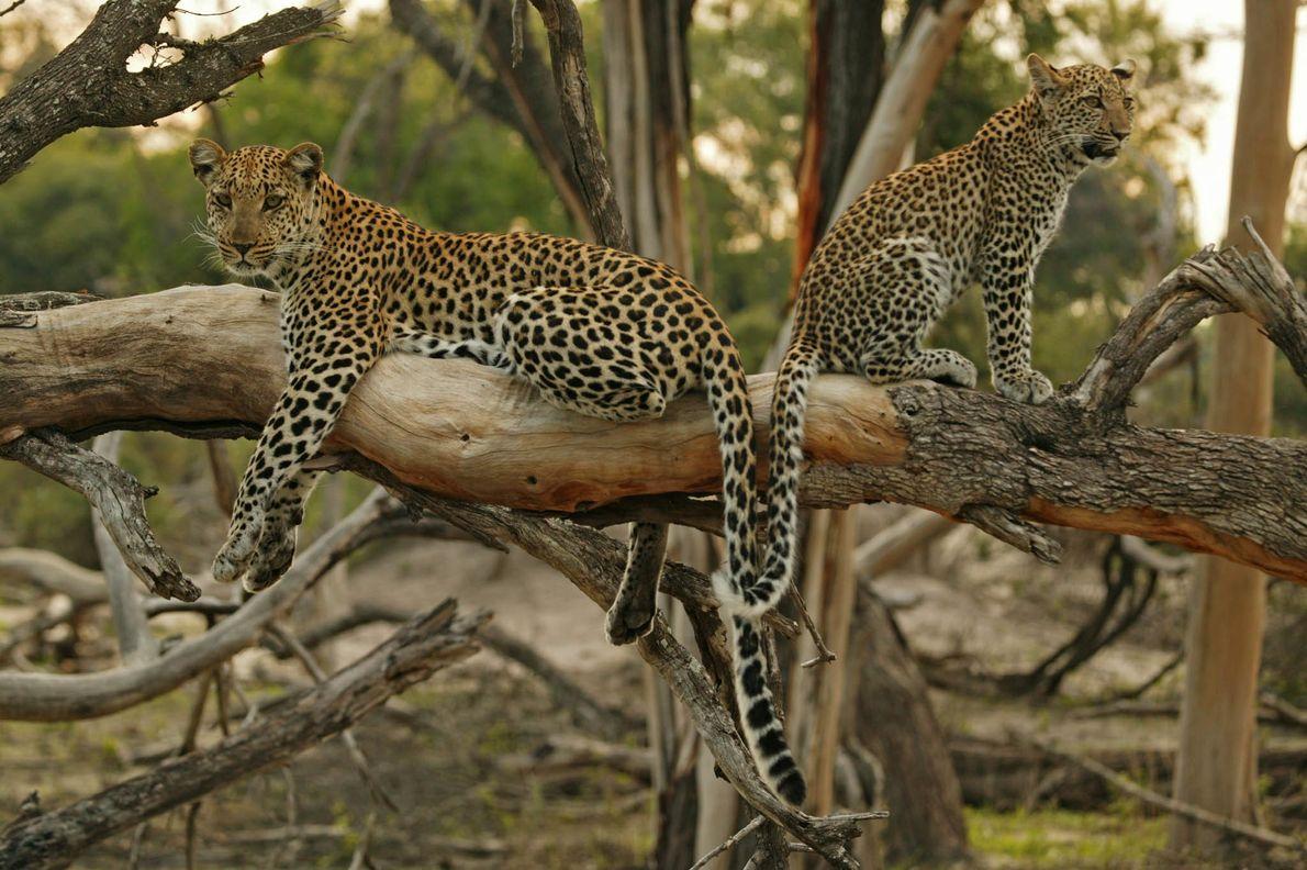 Leopardo hembra y su hija