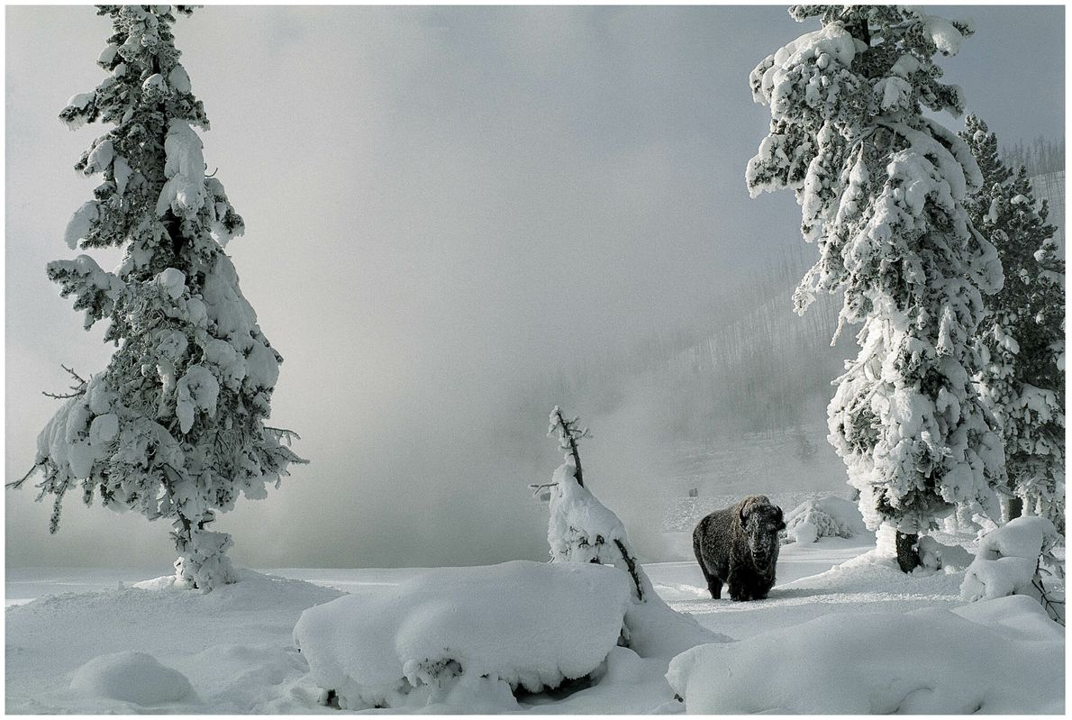 Un bisonte en el parque nacional de Yellowstone