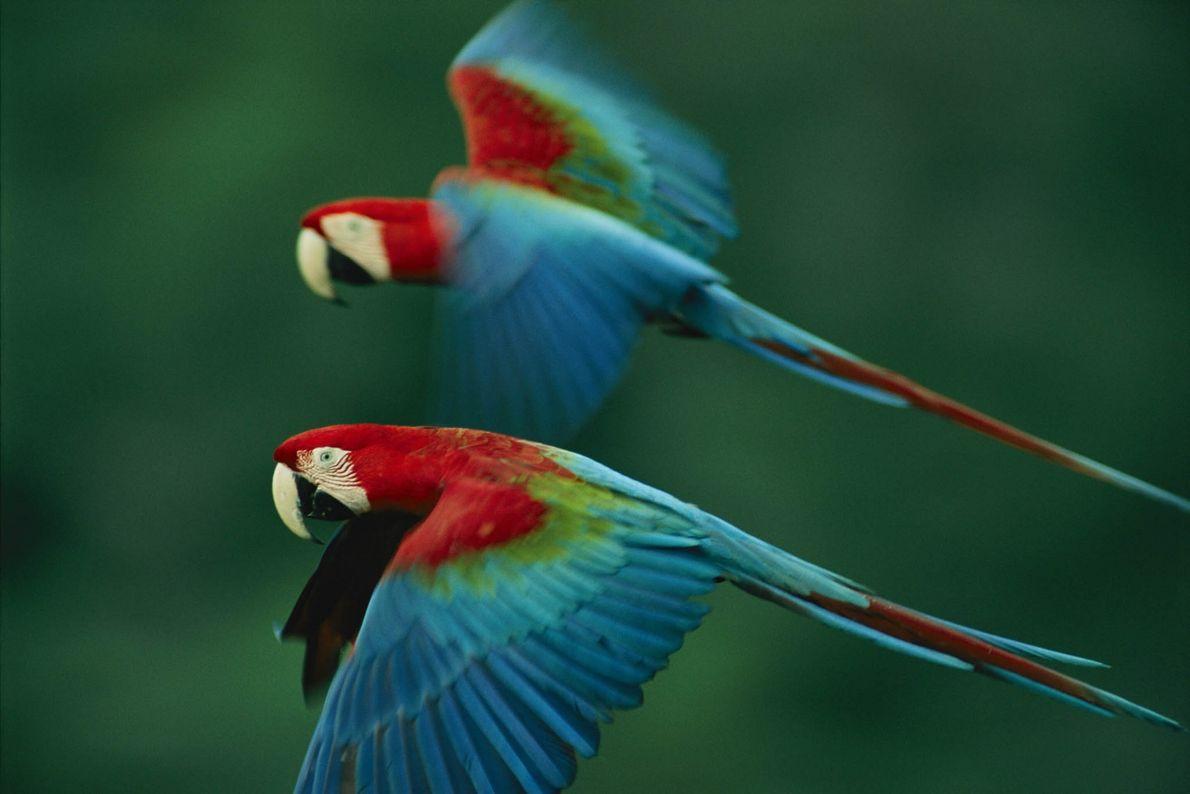 Una pareja de guacamayos rojos y verdes