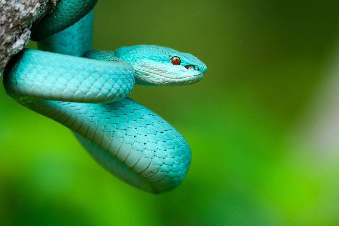 Picture of blue-colored island pit viper in Indonesia