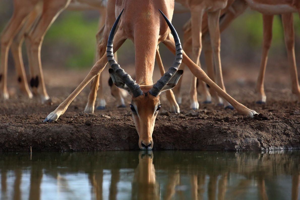 Picture of an impala drinking water in Botswana