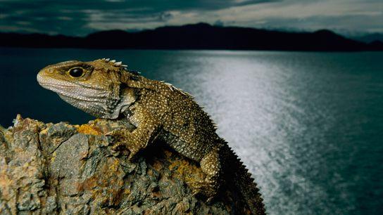 Imagen de un tuátara en una roca en Nueva Zelanda