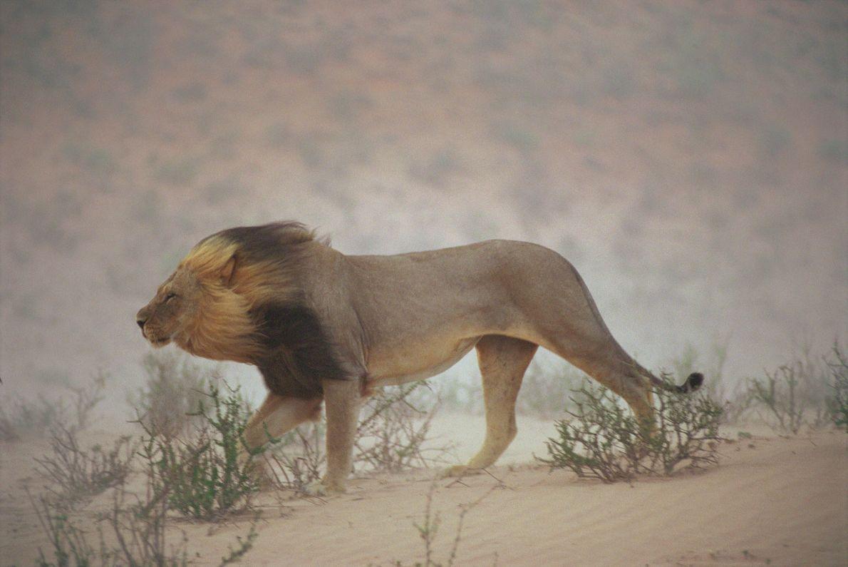 Imagen de un león andando por el Parque Nacional de Gemsbok del Kalahari, Sudáfrica.