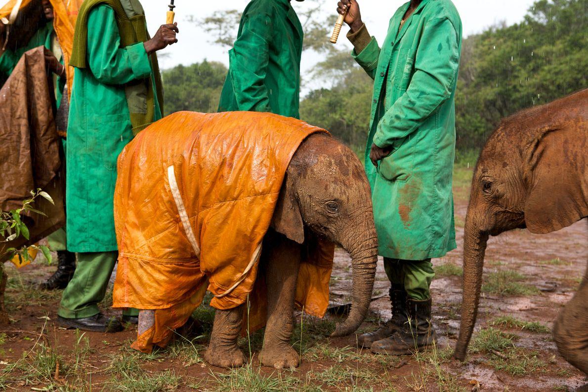 Imagen de tres cuidadores con chubasqueros verdes de pie detrás de una cría de elefante que ...