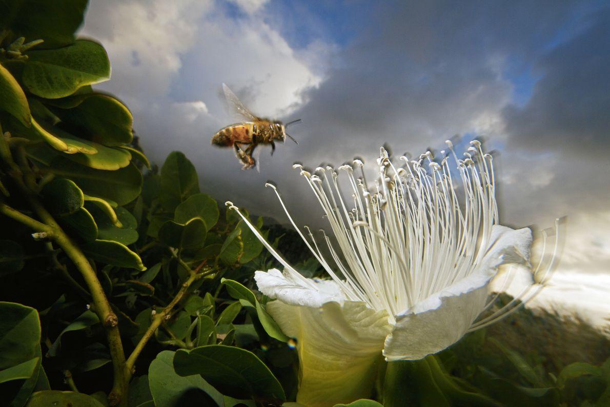 Imagen de una abeja zumbando sobre una Capparis mariana en Hawái