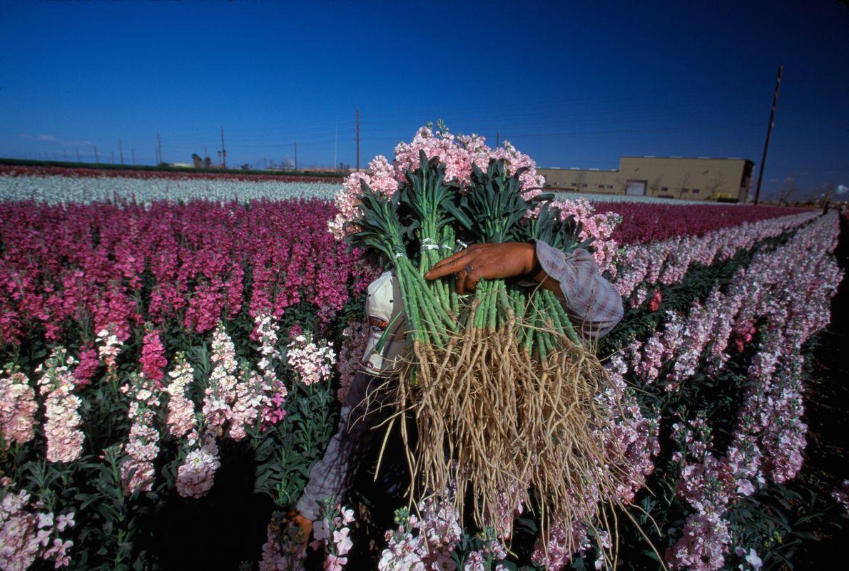 Imagen de un agricultor llevando flores rosas en una granja floral de California