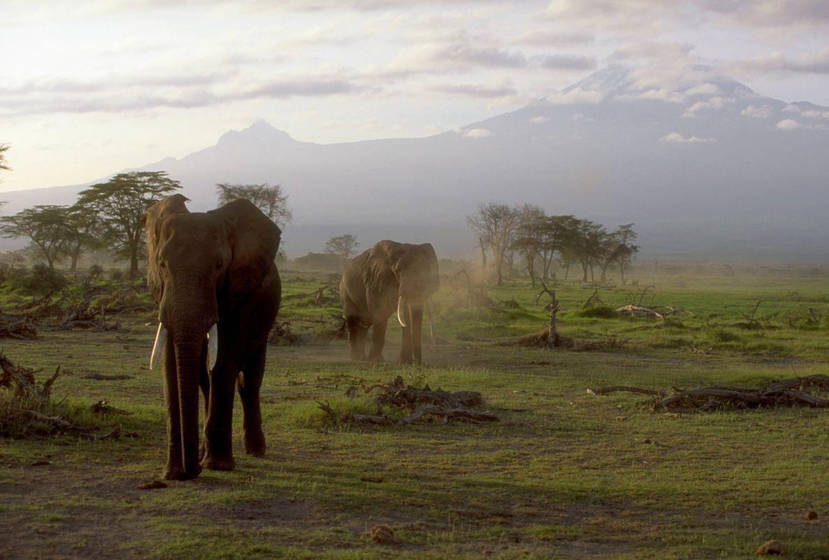 Imagen de unos elefantes pastando en un pantanal de Kenia con el monte Kilimanjaro en el ...