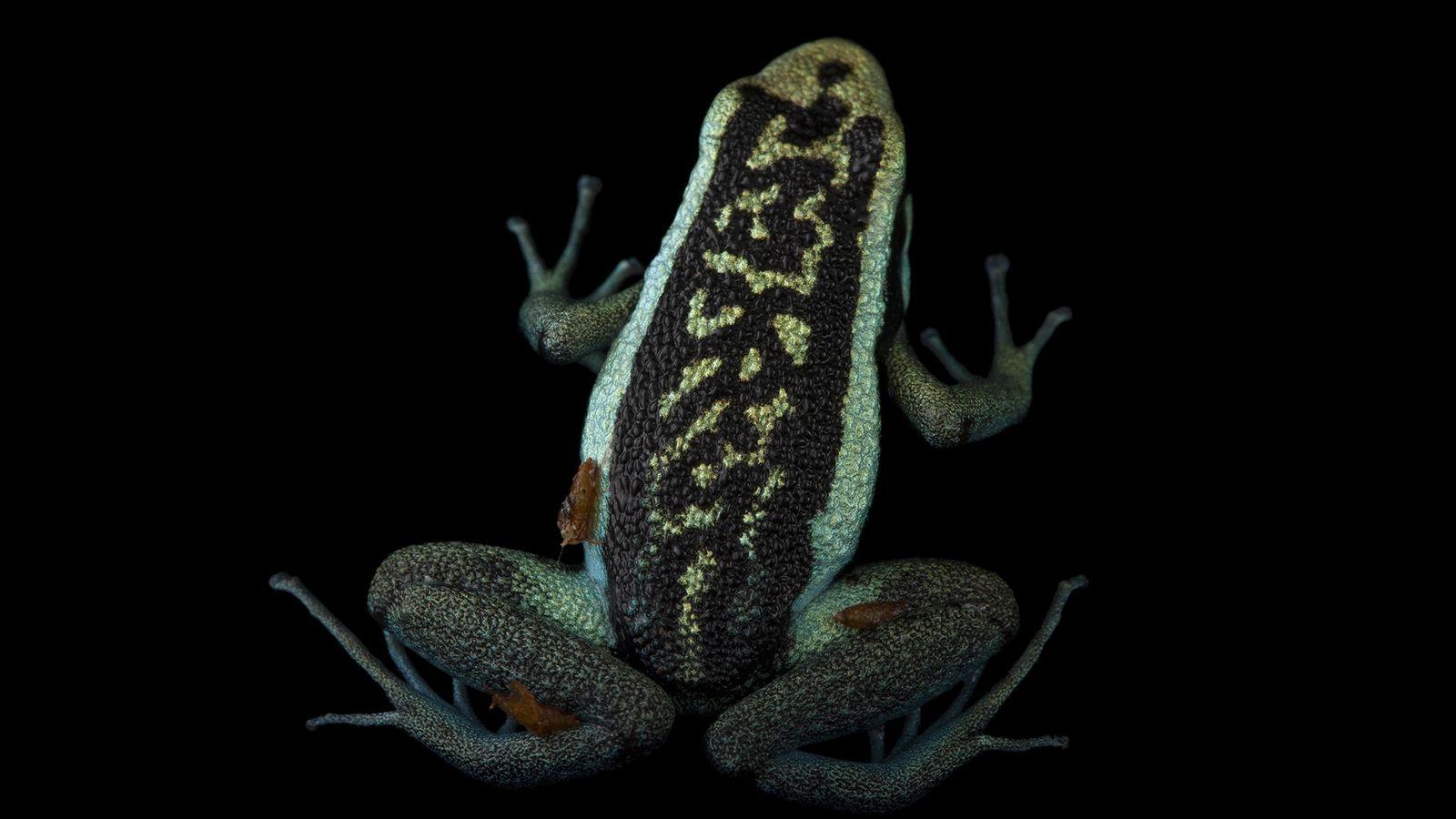 Una rana venenosa Ameerega bassleri