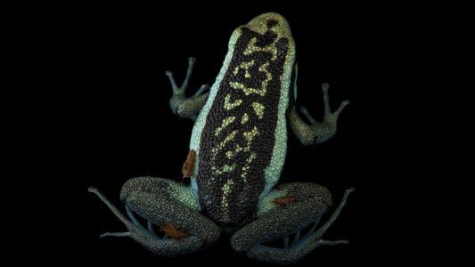 Ranas venenosas fotografiadas por Joel Sartore