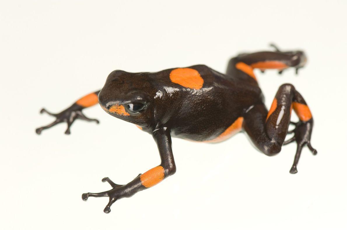 Una rana Oophaga histrionica