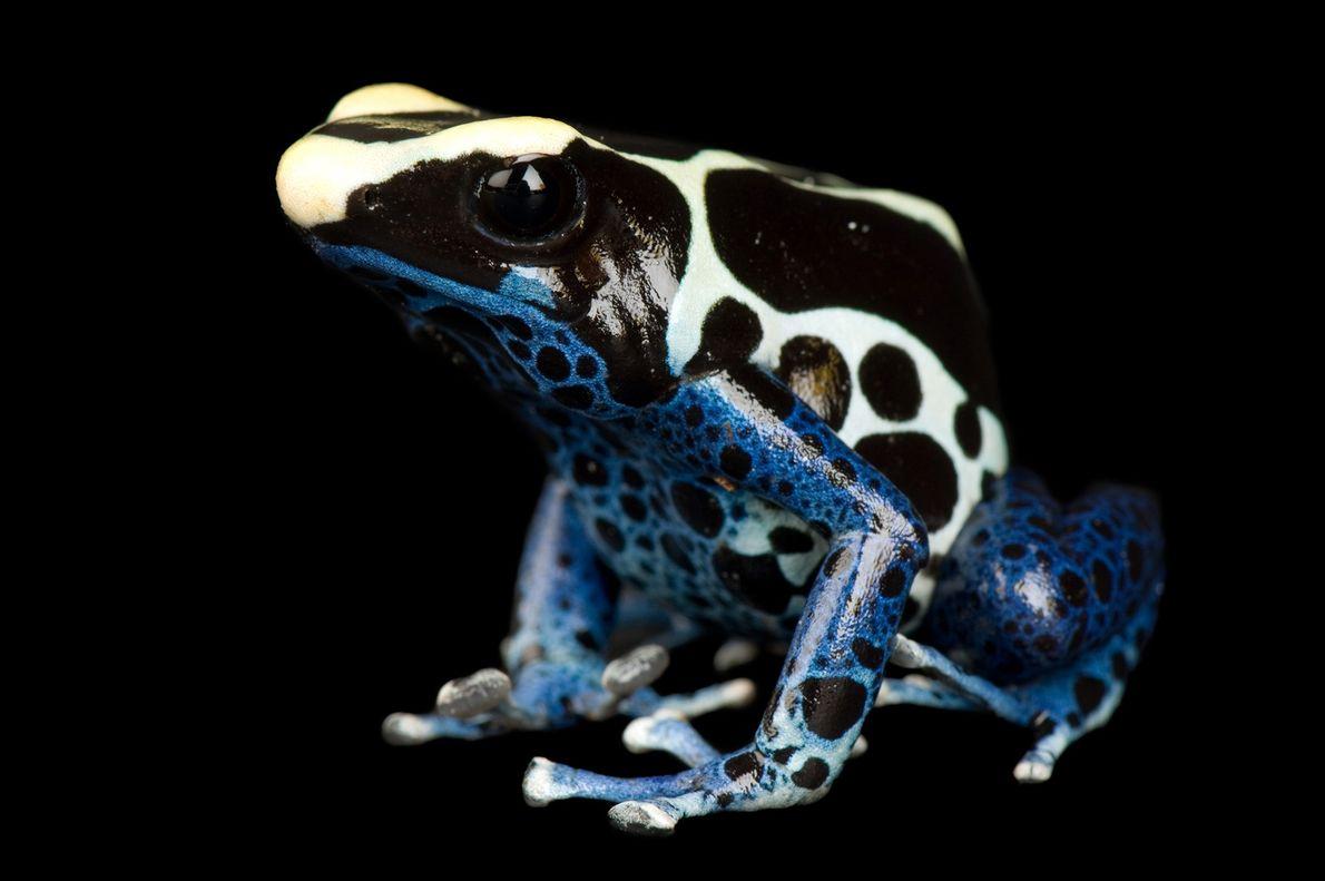Una rana Dendrobates tinctorius