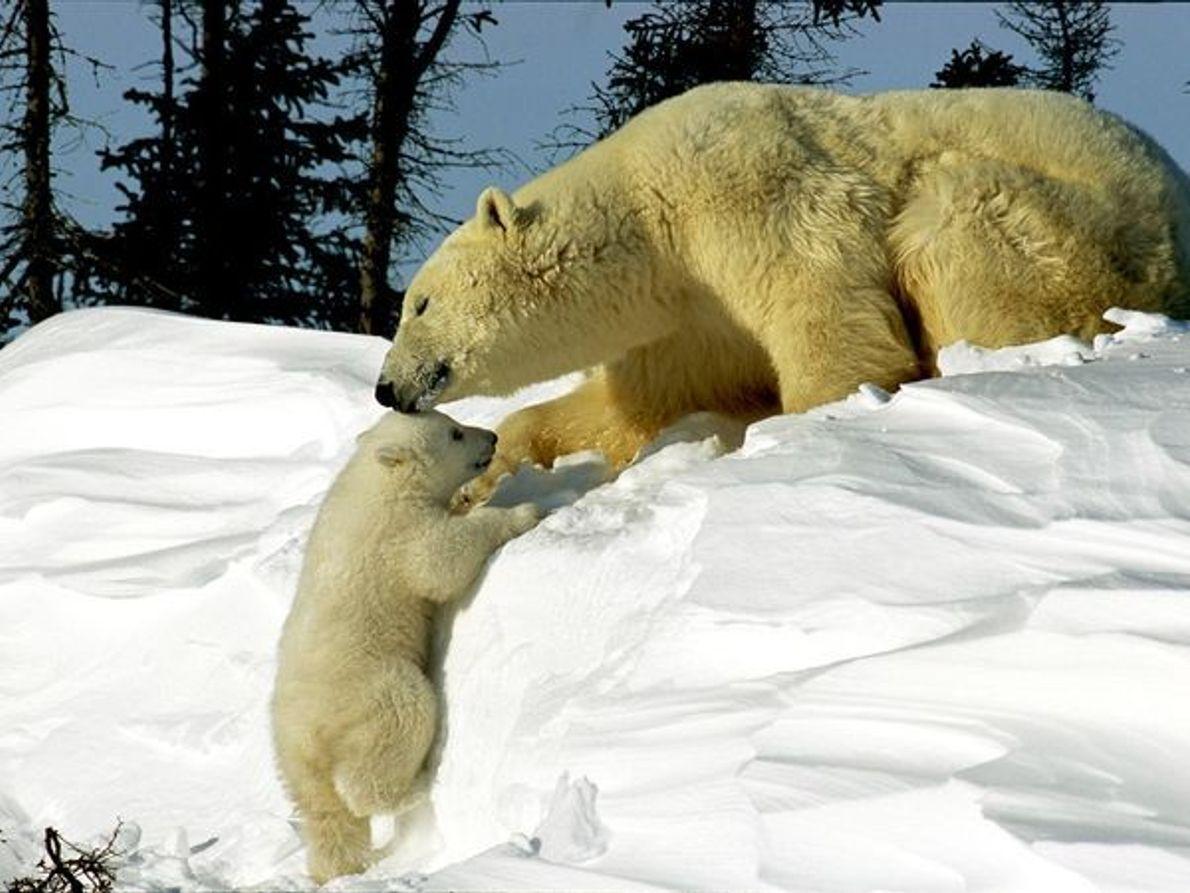 Mamá de oso polar con cachorro