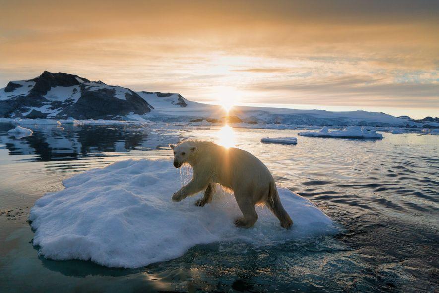 Un oso polar se enfrenta al clima ártico de Groenlandia. Cuando la Unión Internacional para la ...