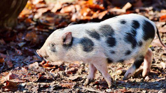 El cerdo vietnamita y la pitón real entran en la lista de nuevas especies invasoras en ...