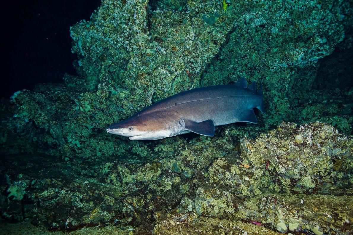 Tiburón negro espinoso