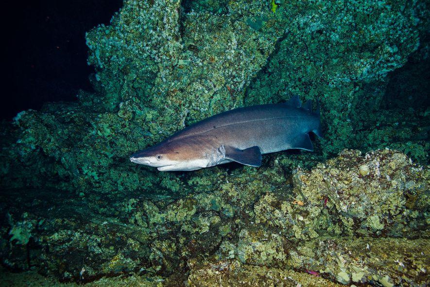 Un tiburón espinoso negro recorre un arrecife profundo en la costa de Costa Rica.