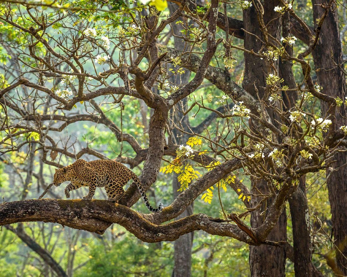 Reserva de tigres de Nagarahole, India