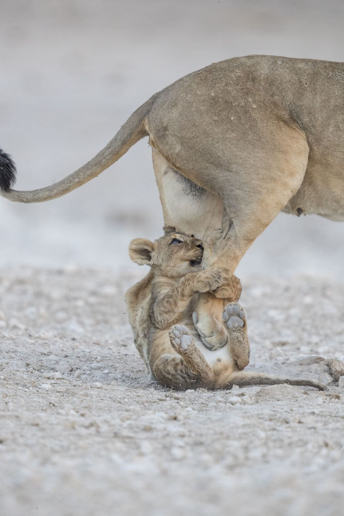 Una leona y su cachorro
