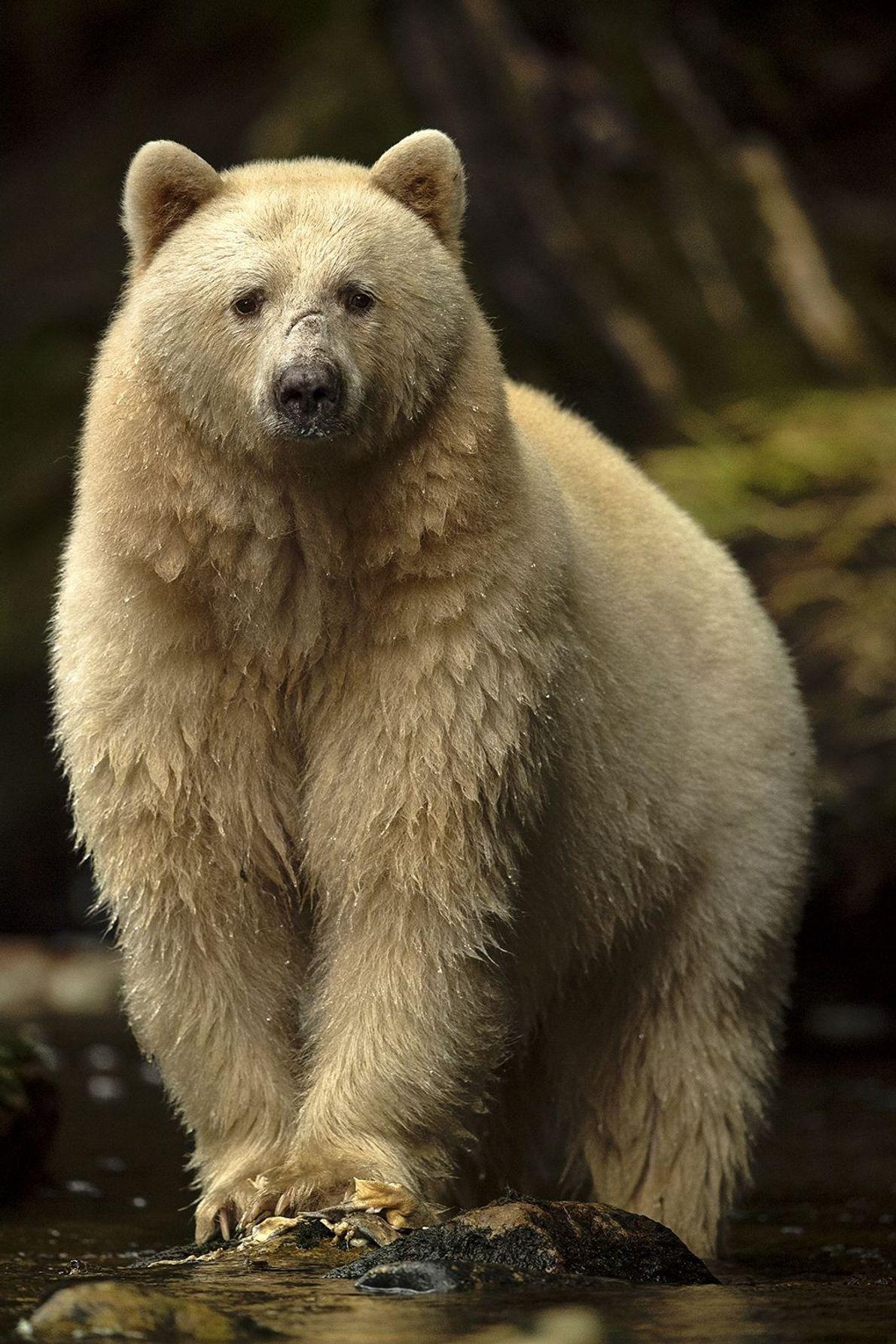 Selva del Gran Oso, Columbia Británica