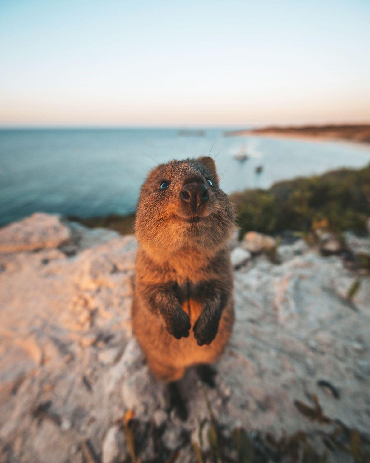 Isla Rottnest, Australia