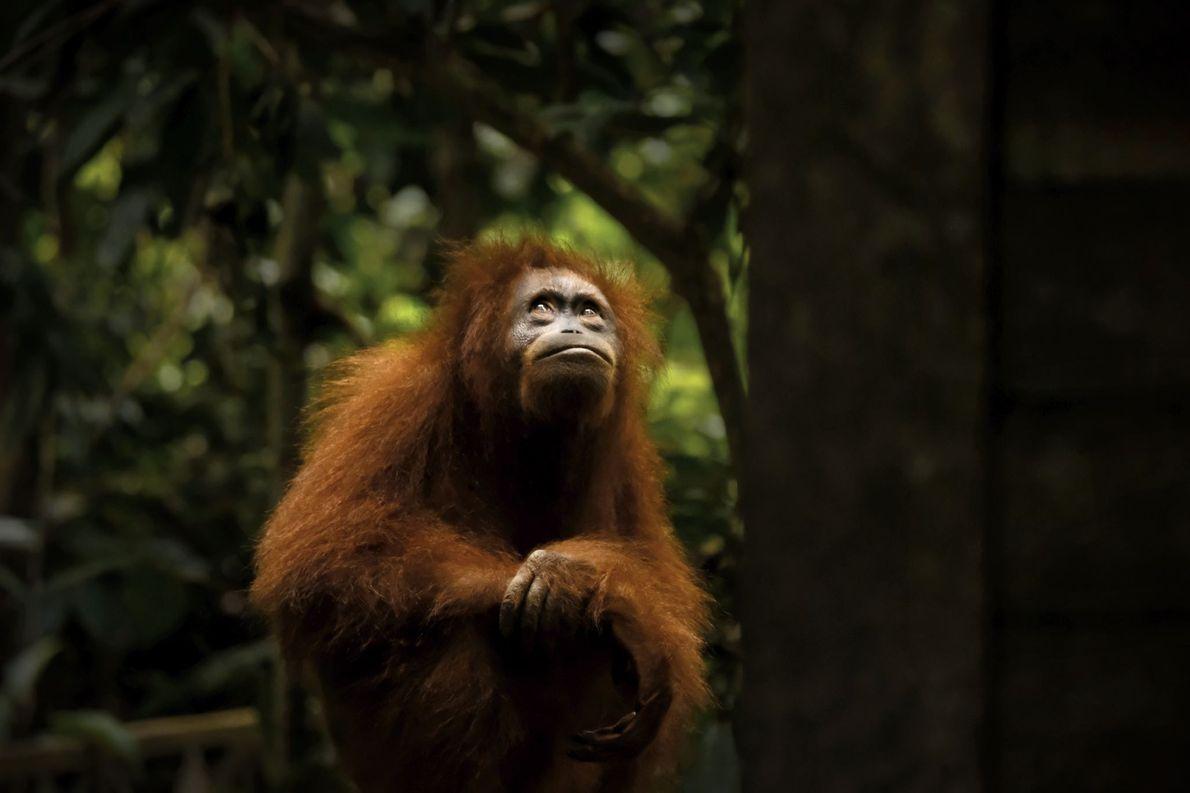 Reserva forestal de Sepilok, Borneo