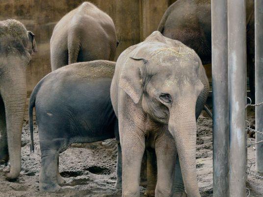 Los elefantes cautivos pueden contagiar la tuberculosis a los humanos, «un problema que se ha ignorado»