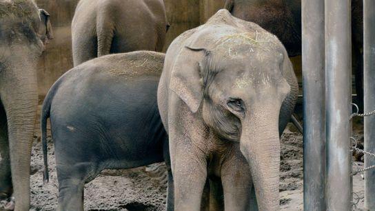Elefante cautivo