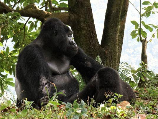 Cazadores furtivos matan a Rafiki, un famoso gorila de espalda plateada de Uganda