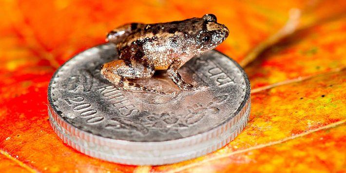 La rana de la noche Robinmoore, de 12,2 milímetros de longitud (Nyctibatrachus robinmoorei), posada sobre una ...