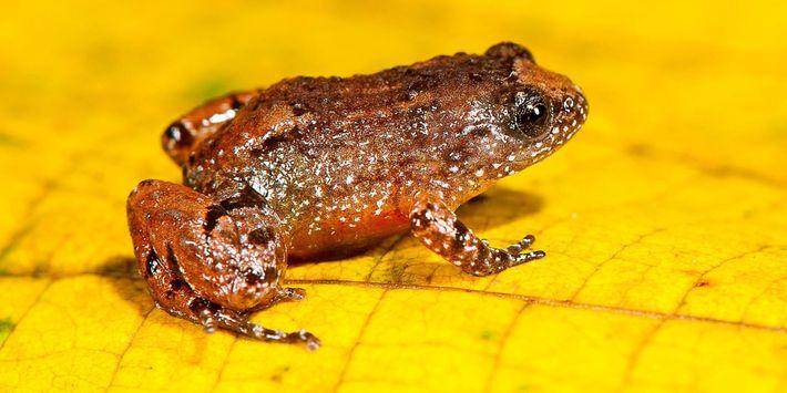 Los científicos encontraron a la rana de la noche Manalar (Nyctibatrachus manalari) ,de 13,8 milímetros de ...