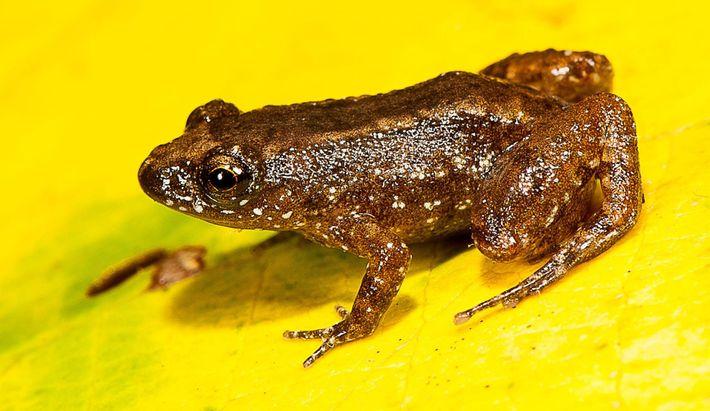 Todas las especies de rana, incluida la rana de la noche Manalar (en la imagen), viven ...