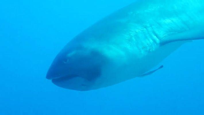 Imágenes de un inusual tiburón de boca ancha