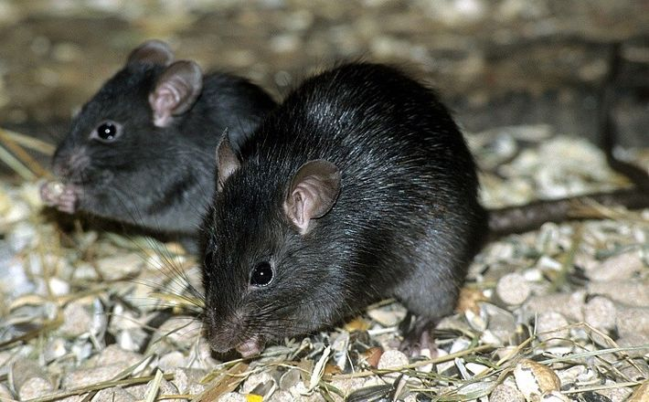 Rata negra especie invasora Madrid