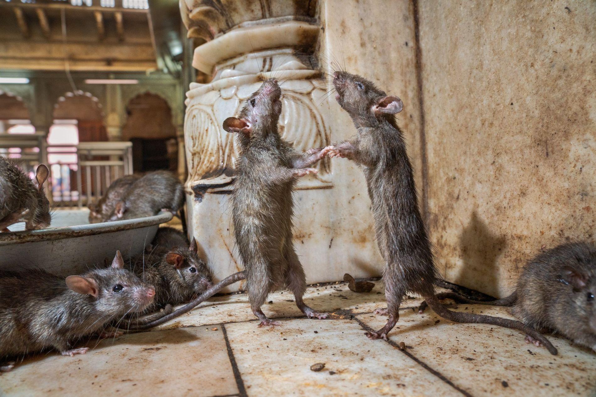 Ratas, India