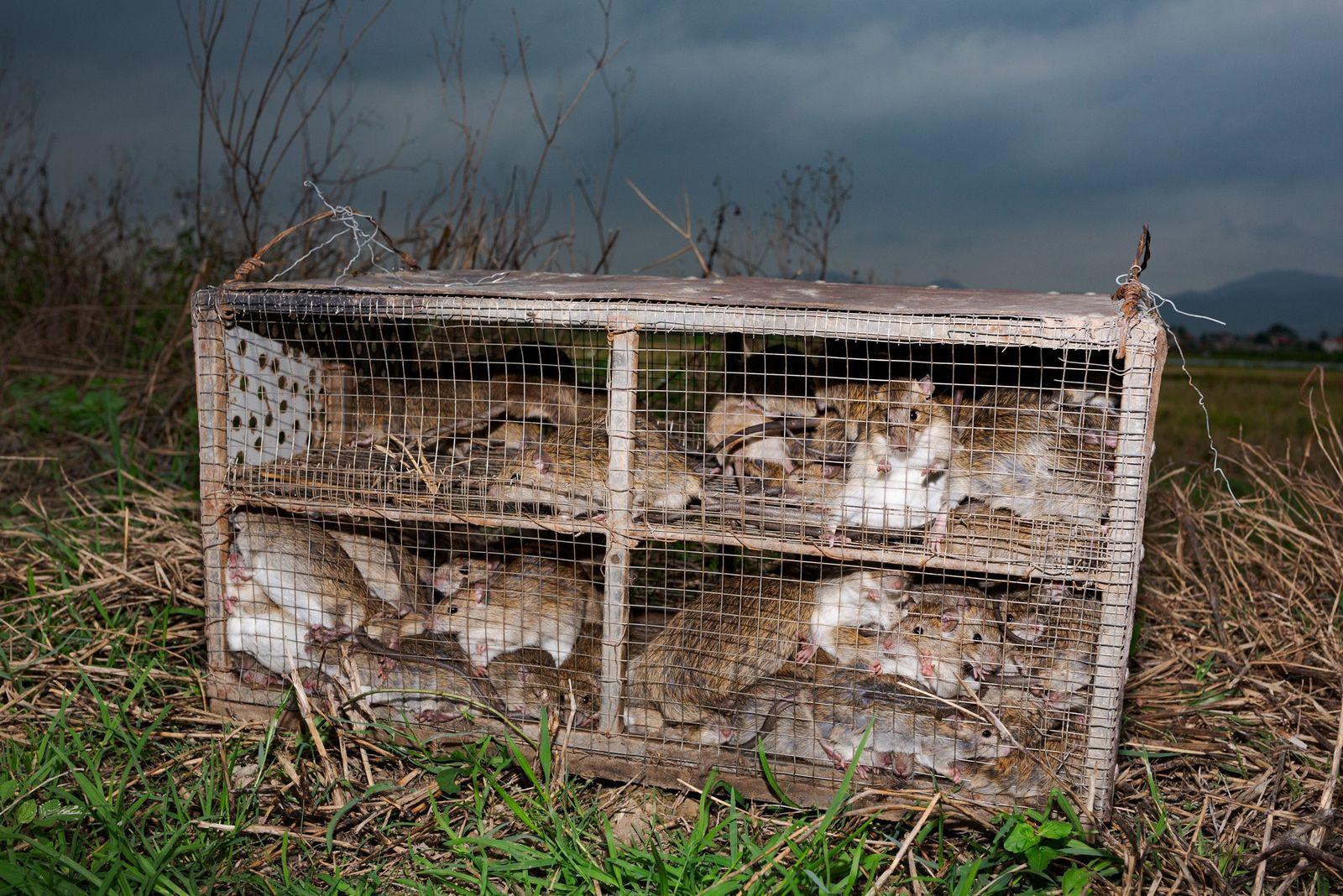 Ratas capturadas