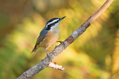 Estas aves repiten las llamadas de alarma, pero tienen cuidado de no difundir rumores