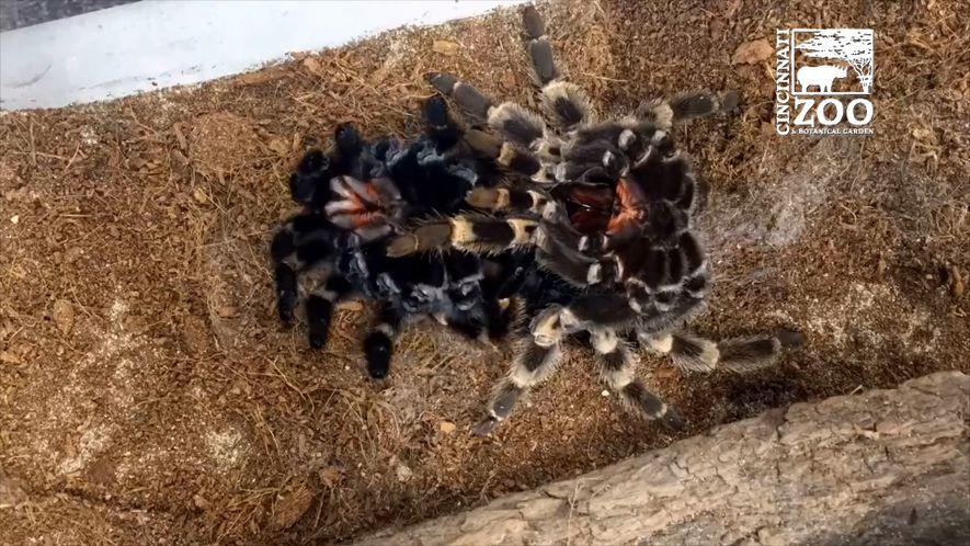 Una tarántula muda su exoesqueleto en este time-lapse