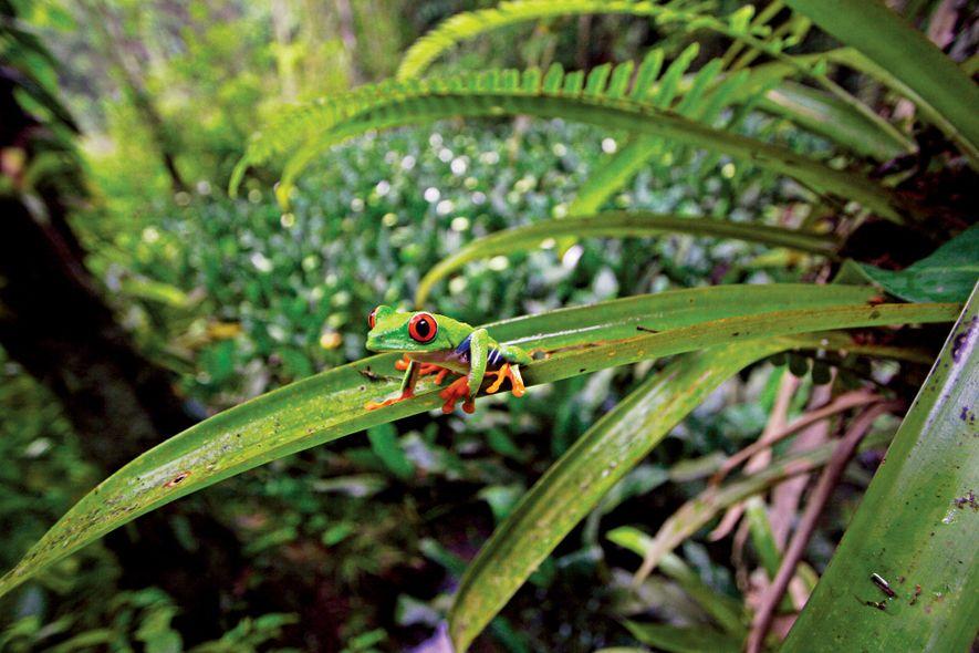 La rana verde de ojos rojos sorprende a los depredadores al abrir los ojos, lo que ...