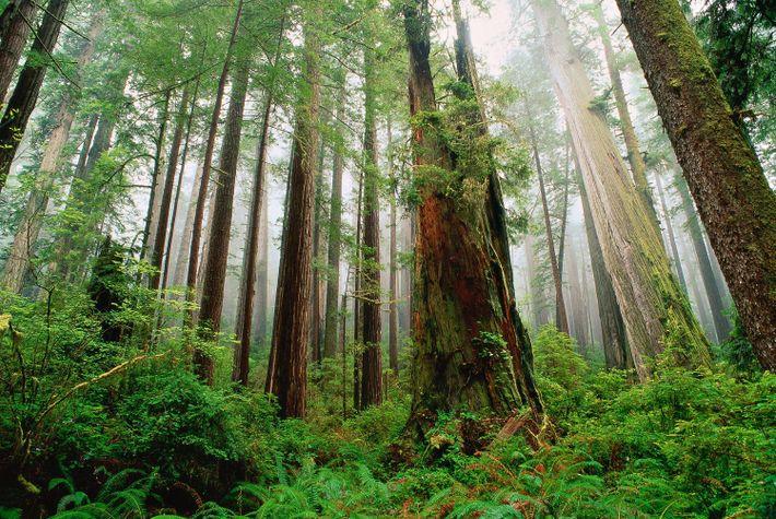 Parque estatal de Redwood, condado de Del Norte, California