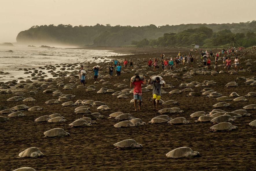 En Ostional, Costa Rica, las tortugas oliváceas anidan tan cerca que suelen destruir los huevos de ...