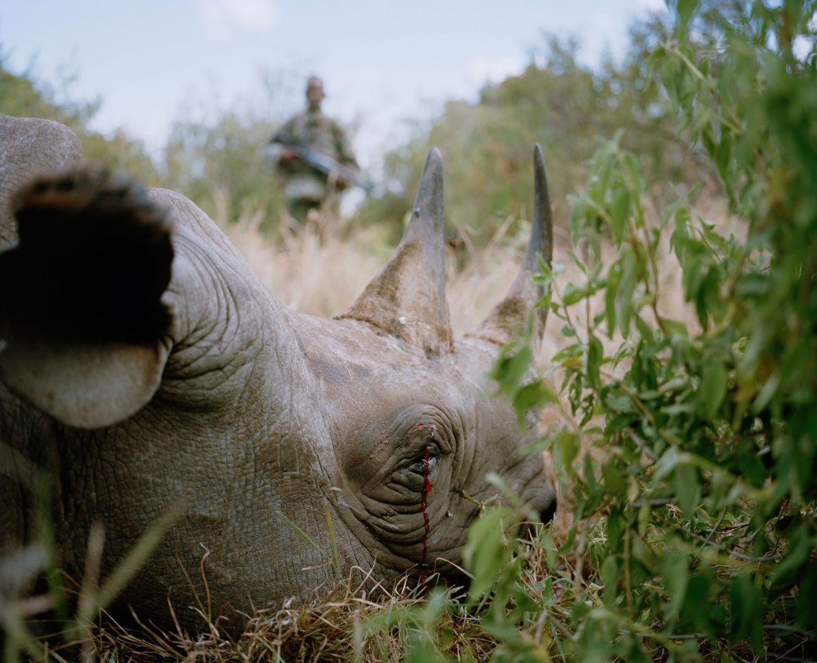 Rinoceronte negro asesinado