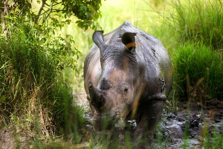 Rinoceronte joven