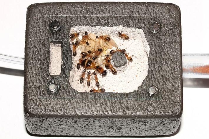 Hormigas del azúcar anidan en un ladrillo