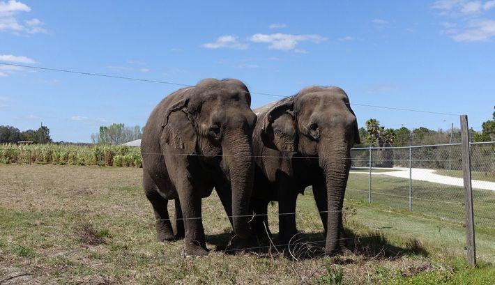Una pareja de elefantes retirados