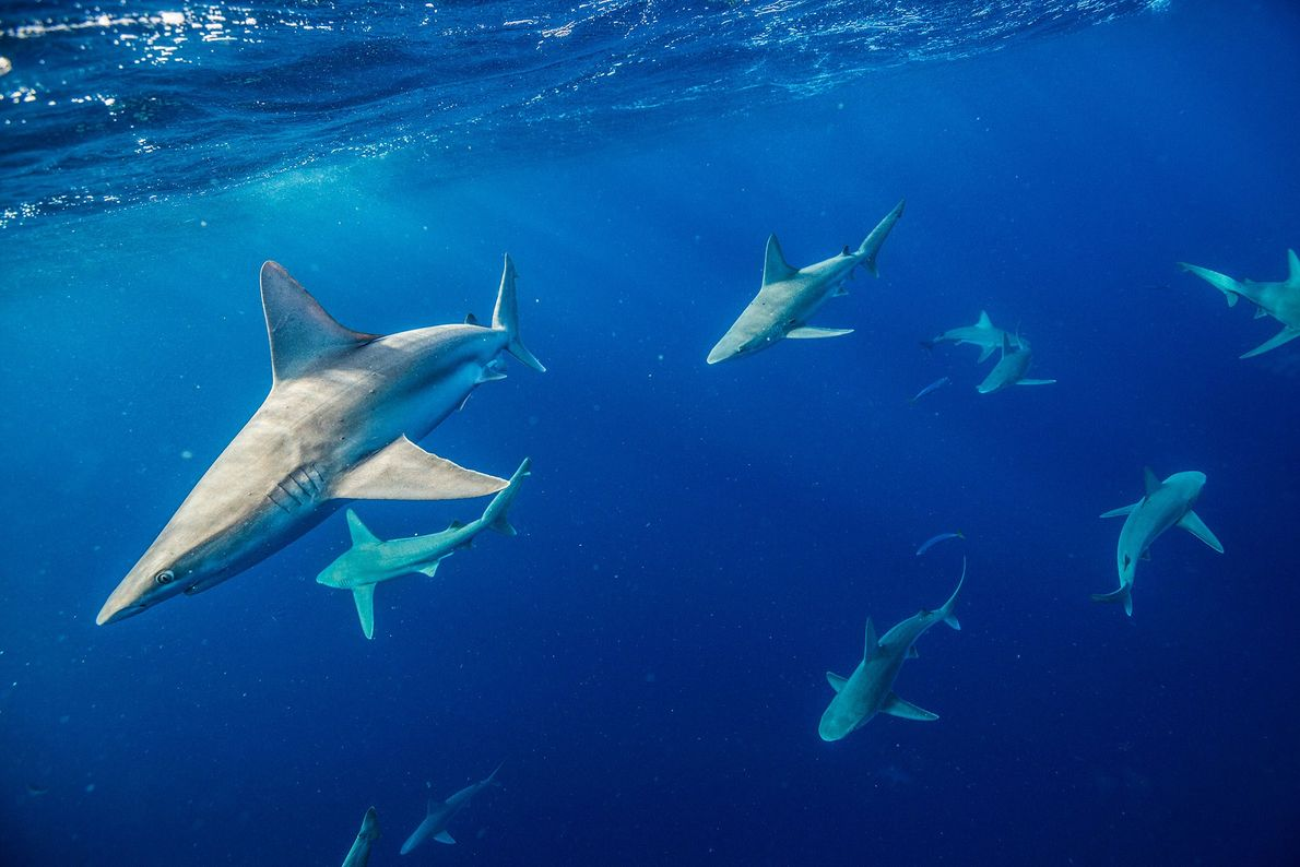 Tiburón trozo